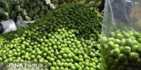 پیش بینی تولید ۳۲۷۰ تن گوجه سبز در استان سمنان