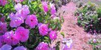 پیشبینی تولید ۶۵۰ تن گل محمدی در استان سمنان؛ توسعه کشت گل محمدی در اراضی شیبدار بهطور جد پیگیری میشود.